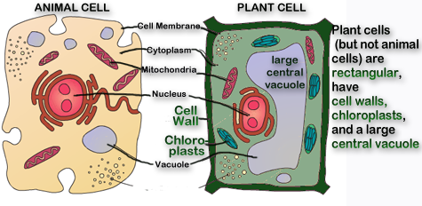 Sol 55 living systems standards plant cells and animal cells are similar but different in shape and some parts ccuart Images